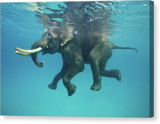 Swimming Elephant Canvas Print