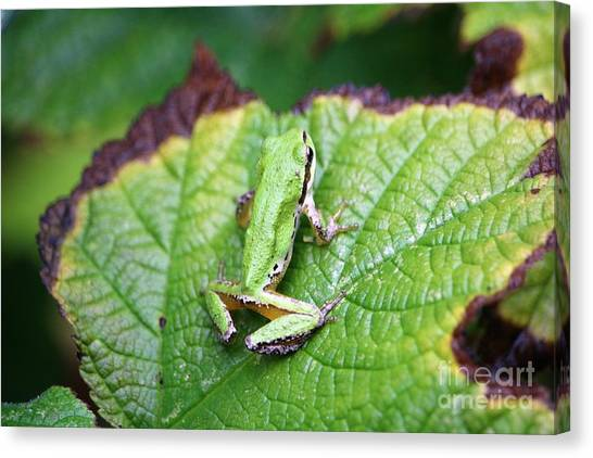 Canvas Print - Tree Frog On Leaf by Nick Gustafson