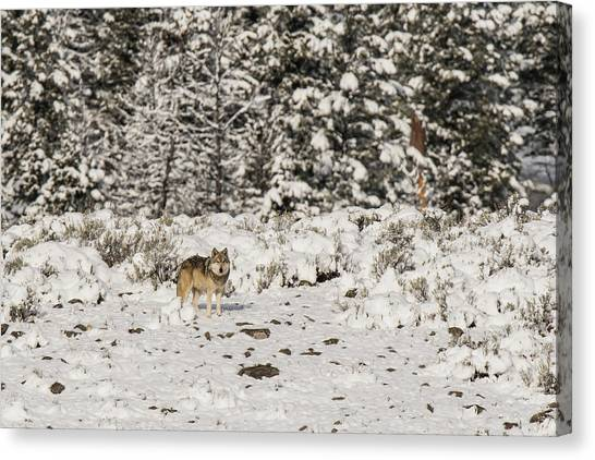 Canvas Print featuring the photograph W20 by Joshua Able's Wildlife