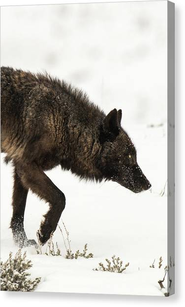Canvas Print featuring the photograph W46 by Joshua Able's Wildlife