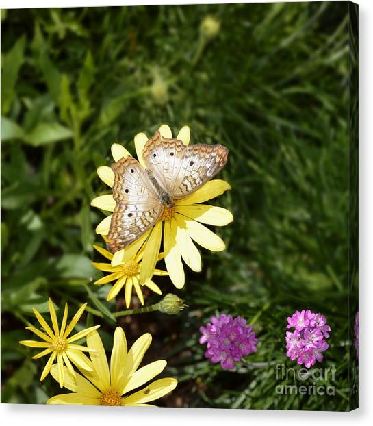 Anartia Jatrophae Canvas Print - White Peacock Butterfly by Marilyn Smith