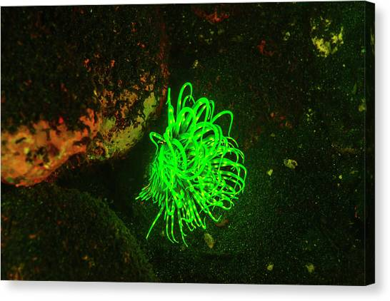 Natural Occurring Fluorescence Canvas Print by Stuart Westmorland