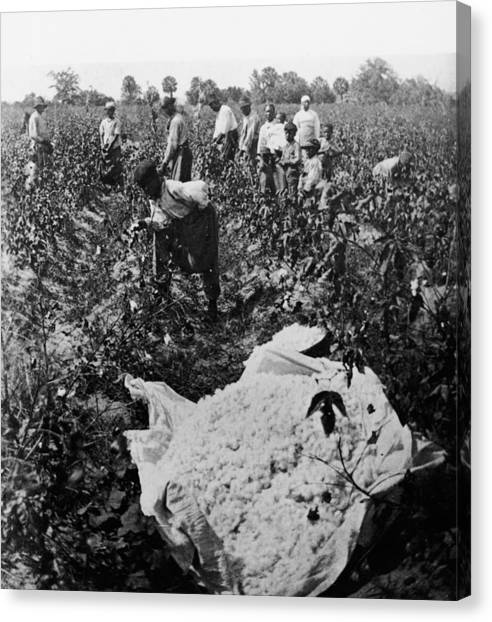 19th Century Cotton Picking Canvas Print by Lightfoot