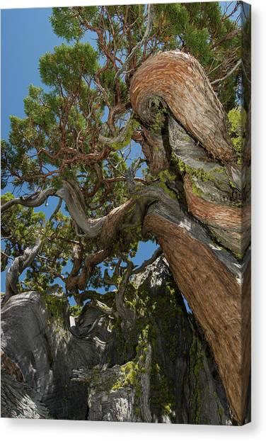 Desolation Canvas Print - Ancient Sierra Juniper Lake Tahoe by Howie Garber