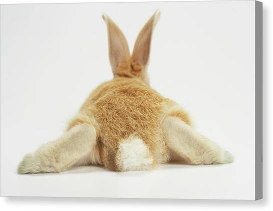 Beige Bunny Rabbit On White Background Canvas Print by American Images Inc