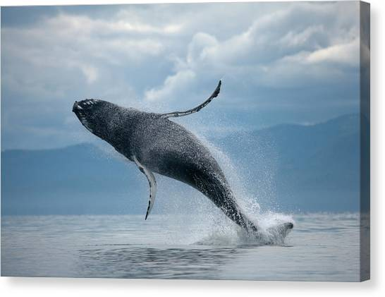 Breaching Humpback Whale, Alaska Canvas Print by Paul Souders