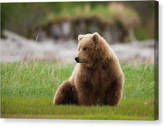 Brown Bear, Katmai National Park Canvas Print by Mint Images/ Art Wolfe