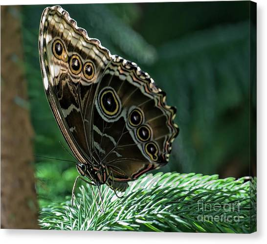 Butterfly Canvas Print by Elijah Knight
