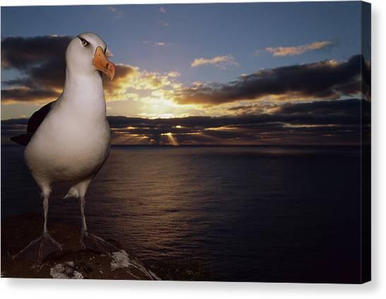 Campbell Albatross Thalassarche Canvas Print by Tui De Roy/ Minden Pictures