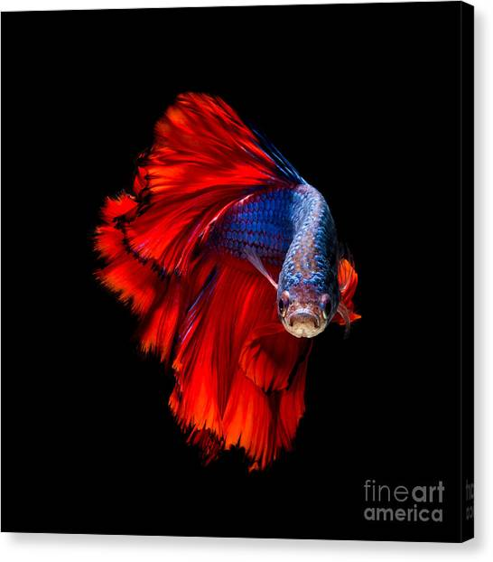 Dress Canvas Print - Colourful Betta Fish,siamese Fighting by Nuamfolio