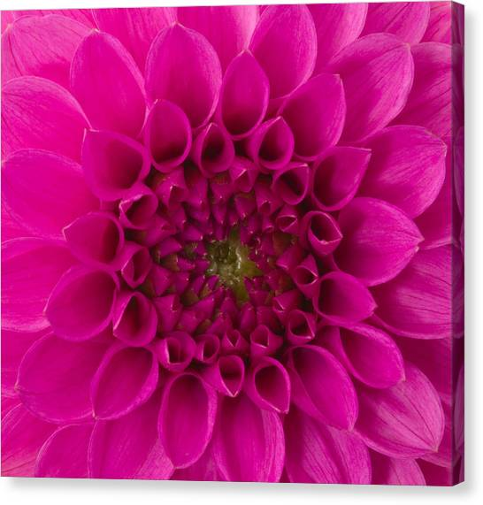 Dahlia Canvas Print by Vidok