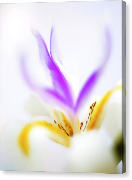 Canvas Print featuring the photograph White Iris II by John Rodrigues