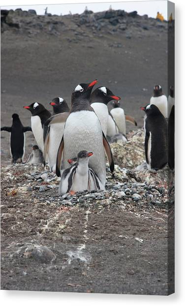 Gentoo Penguin Barrientos Island, South Canvas Print by Tom Norring