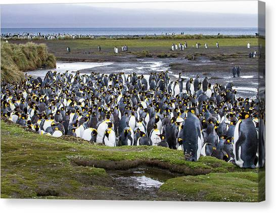 King Penguin Rookery At Salisbury Plain Canvas Print by Tom Norring