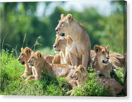 Lioness With Cubs In The Green Plains Canvas Print by Guenterguni