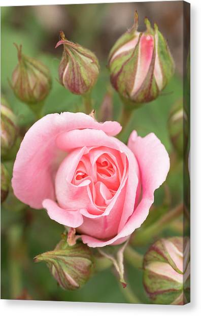 Pink Rose, International Rose Test Canvas Print by William Sutton