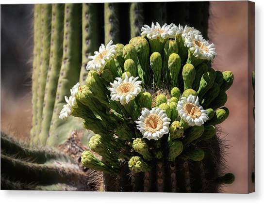 Canvas Print - Saguaro Blossoms  by Saija Lehtonen