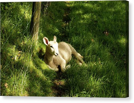 20/06/14  Keswick. Lamb In The Woods. Canvas Print