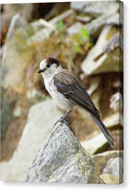 Camprobber - The Gray Jay Canvas Print