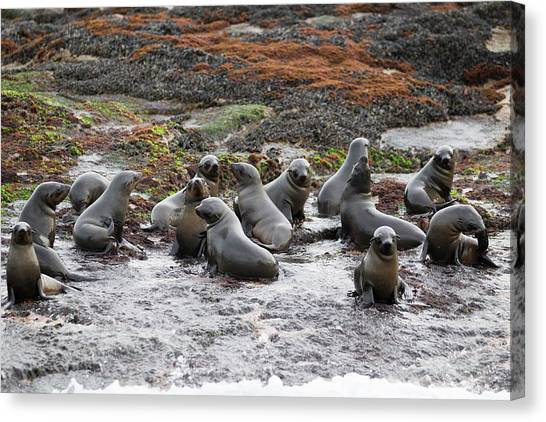 Cape Fur Seals Arctocephalus Pusillus Canvas Print