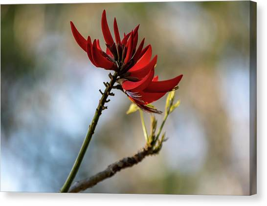 Coral Tree Flowers Canvas Print