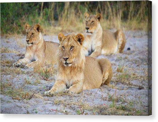 Canvas Print featuring the photograph 3 Lions by John Rodrigues