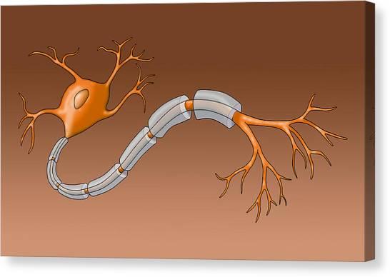 Neuron With Healthy Myelin Sheath Canvas Print by Monica Schroeder