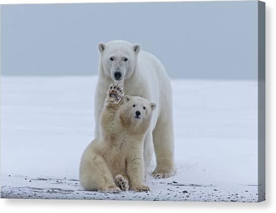 Polar Bear Canvas Print by Sylvain Cordier