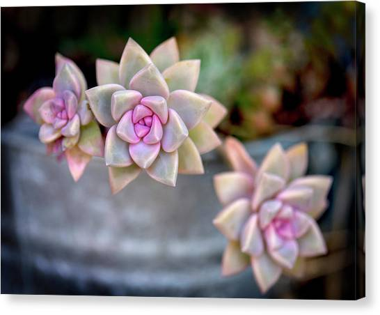 Canvas Print featuring the photograph 3 Succulents by John Rodrigues