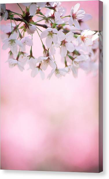 Cherry Blossoms Canvas Print by Ooyoo