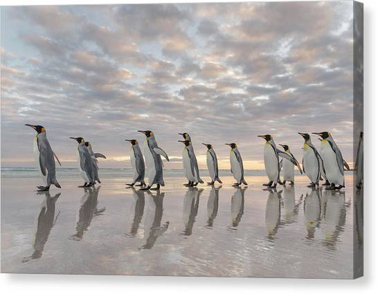 King Penguin On The Falkland Islands Canvas Print by Martin Zwick