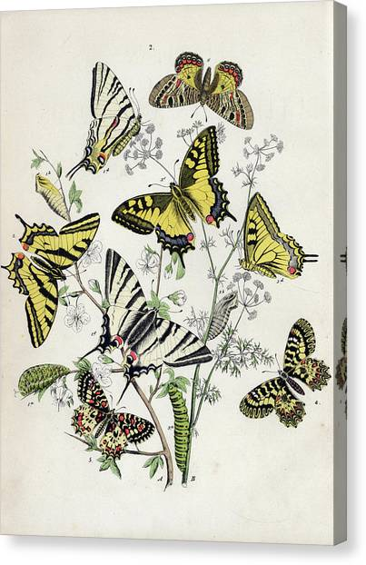 Kirby Canvas Print - European Butterflies And Moths by William Forsell Kirby