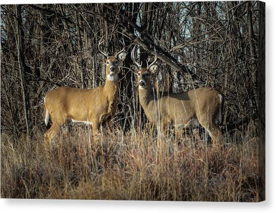 Rocky Mountain Deer Canvas Print