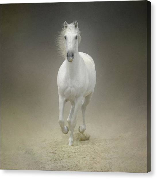 White Horse Galloping Canvas Print