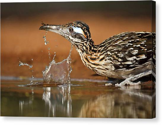 Greater Roadrunner Geococcyx Canvas Print by Danita Delimont