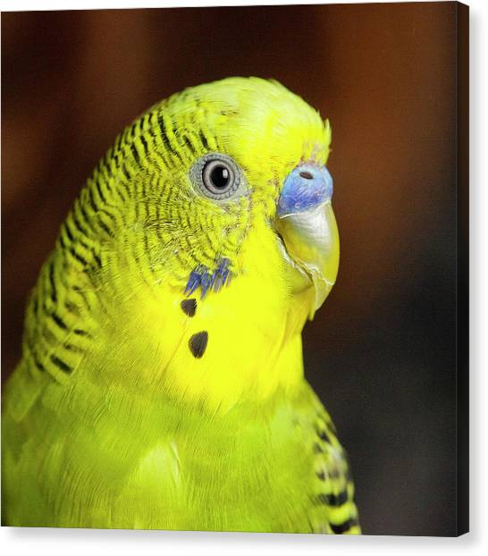 Canvas Print - Portrait Of Budgie Birds by Panoramic Images