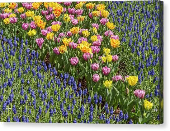 Tulips, Skagit Valley Tulip Festival Canvas Print by Adam Jones