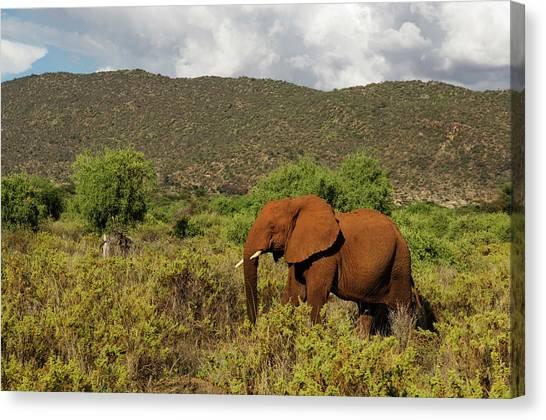 African Elephant Loxodonta Africana Canvas Print by Ariadne Van Zandbergen
