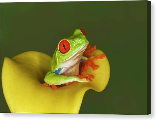 Red-eyed Tree Frog Canvas Print by Adam Jones