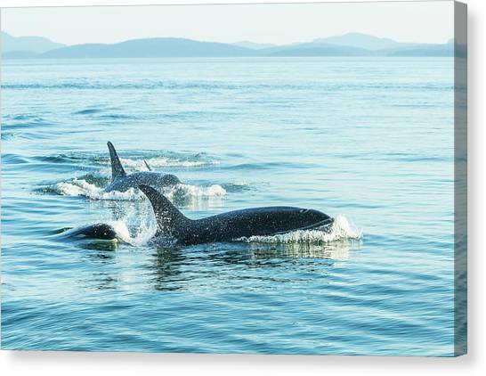 Surfacing Resident Orca Whales Canvas Print by Stuart Westmorland