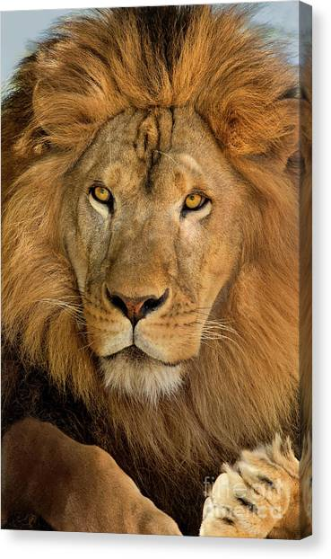 656250006 African Lion Panthera Leo Wildlife Rescue Canvas Print