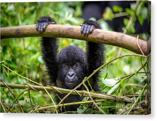 Bush Canvas Print - A Baby Gorila Inside The Virunga by Lmspencer
