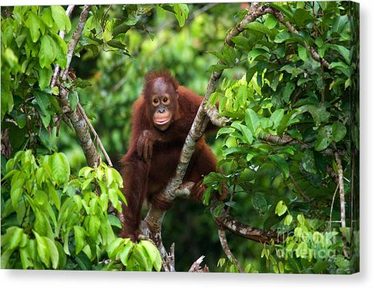Zoology Canvas Print - A Baby Orangutan In The Wild by Gudkov Andrey