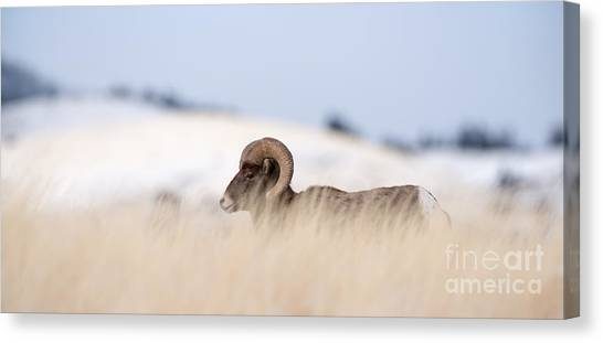 Mountain Climbing Canvas Print - A Big Horn Sheep Ram Walking From The by Lorraine Logan