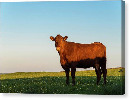 A Brown Cow On A Summer Evening Canvas Print by Photos By R A Kearton