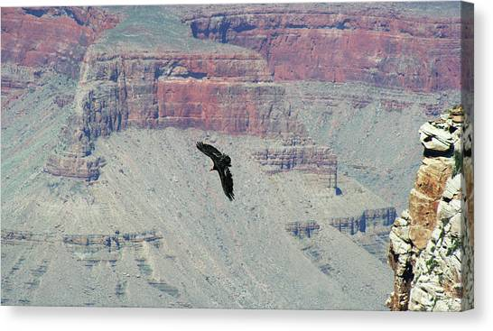 Condors Canvas Print - A California Condor Soars Among The Cliffs Of The Grand Canyon by Derrick Neill