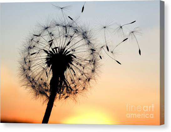 Botany Canvas Print - A Dandelion Blowing Seeds In The Wind by Janbussan