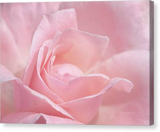 A Delicate Pink Rose Canvas Print