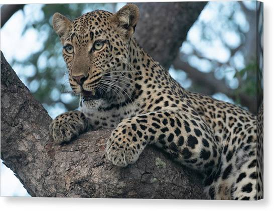 A Focused Leopard Canvas Print