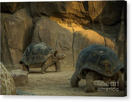 Zoology Canvas Print - A Giant Galapagos Turtles On A Walk by Awol666